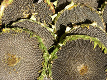 Sunflowers. Ripe sunflower's seeds Stock Photography