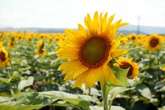 SUNFlOWERS. Image of yellow sunflowers,summer time Stock Photos