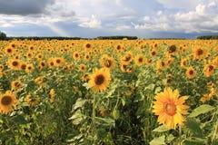 Sunflowers. Royalty Free Stock Image