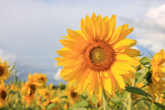 Sunflowers. Royalty Free Stock Images