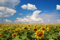 Sunflowers. Field of sunflowers under cloudy sky Stock Photo