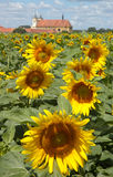 Sunflowers. Flowers like a sun stock photos
