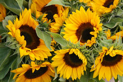 Sunflowers. Bunch of colorful sunflowers for sale in a flowershop Royalty Free Stock Photography