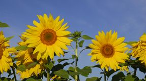 Sunflowers. Sunflowers on a background of the blue sky stock images