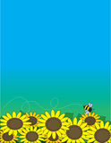 Sunflowers. A bed of sunflowers with a bee hovering over them Stock Photo