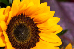 Free Sunflowers Royalty Free Stock Photos - 11076528