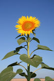 Sunflowers. Blooming sunflowers against blue sky Royalty Free Stock Images
