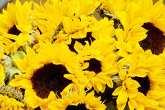 Sunflowers. Stock Photography