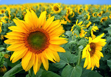Free Sunflowers Royalty Free Stock Image - 1125106