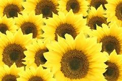 Sunflowers. Beautiful yellow petals of sunflower Royalty Free Stock Image