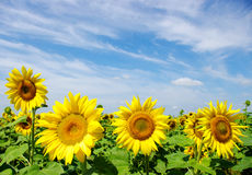 Sunflowers Stock Photography