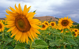 Sunflowers. Summer sunflowers closely with mountains Stock Photos