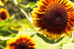 Sunflowers. Growing in the summer Royalty Free Stock Photography
