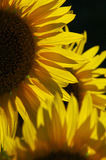 Sunflowers. Beautiful sunflowers in summer Royalty Free Stock Images