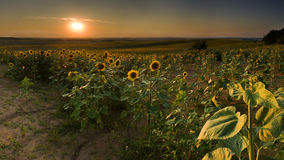 Sunflowers. Sunflower Field at sunset Sunflowers royalty free stock photography