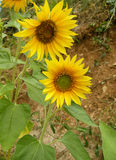 Sunflowers. Two beautiful yellow blooming sunflowers in nature outdoors Stock Image