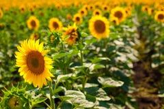 Sunflowers. Horizontal photo of a sunflower field Royalty Free Stock Photos