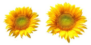 Sunflowers Royalty Free Stock Photo