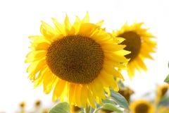 Sunflowers. Outdoor yellow beauty sunflowers background stock image