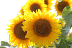 Sunflowers. Outdoor yellow beauty sunflowers background stock images