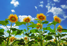 Sunflowers. Fresh gold sunflowers under the blue sky Stock Image