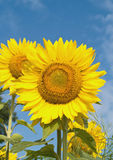 Sunflowers. And blue sky in summer Royalty Free Stock Image