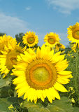 Sunflowers. And blue sky in summer Stock Image