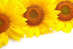 Sunflowers. Three sunflowers on white background with copyspase Stock Image