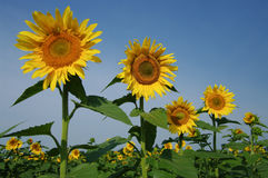 Free Sunflowers Royalty Free Stock Image - 15580206