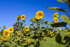 Sunflowers. Field with sunflowers on sunny summer stock photography
