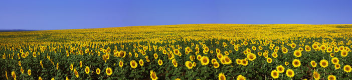Sunflowers. Field with sunflower on background blue sky (panoramic Stock Photos