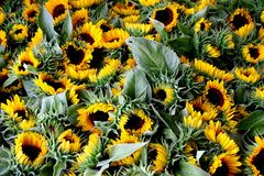 Sunflowers. Sunflower on their way to flower market Royalty Free Stock Photo