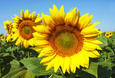 Sunflowers. Beautiful sunflowers in sunshine in summer Stock Image