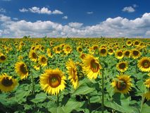 Sunflowers. A huge yellow field of sunflower near Lake Balaton Stock Images