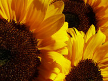 Sunflowers. In the sunshine Royalty Free Stock Photos