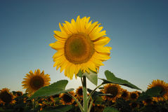 Sunflowers 19. Sunflower blossom with sun, blue sky, and blossoms in background Stock Photos