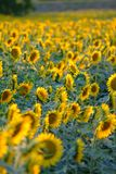 Sunflowers. A field of sunflowers and blue sky Royalty Free Stock Photo