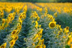Sunflowers. A field of sunflowers and blue sky royalty free stock photography