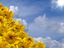 Sunflowers. Beautiful yellow sunflowers with blue sky and shining sunlight Stock Images