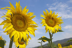 The Sunflowers Stock Photos