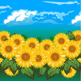 Sunflowers. A beautiful field of sunflowers under cloud Stock Images