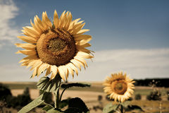 Sunflowers. A sunflower field during summer in Segovia, Spain. Canon 450d Royalty Free Stock Images