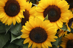 Sunflowers background Royalty Free Stock Photos