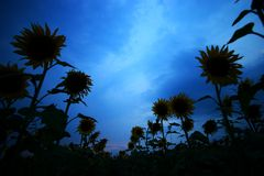 Sunflowers. Sunflower silhouettes receding to the horizon at dusk stock photos