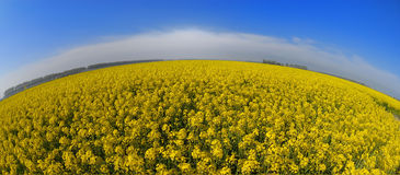 Sunflowers. A field of sunflowers under blue sky during summer shooted with fish eye Royalty Free Stock Image