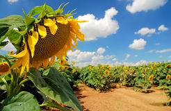 Sunflowers. Field of sunflowers in Slovakia Stock Images