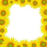 Sunflowers. Brightly colored sunflowers on a white background royalty free stock images