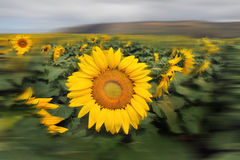 Sunflowers. Royalty Free Stock Photography