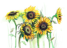 Sunflowers. Group of beautiful sunflowers isolated on white Stock Photography