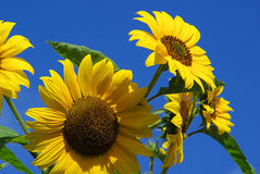 Sunflowers 24 Royalty Free Stock Photography